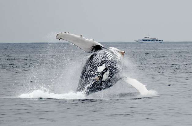 A humpback whale breaches the surface and rotates to land on its back in between feedings in the Monterey Bay. The abundance of krill in the Monterey Bay has led to an unusually high number of Humpback whales, Blue Whales and other porpoises in this area and are seen here on Thursday, July 22, 2010 off the coast of Monterey, Calif. Photo: Chad Ziemendorf, The Chronicle