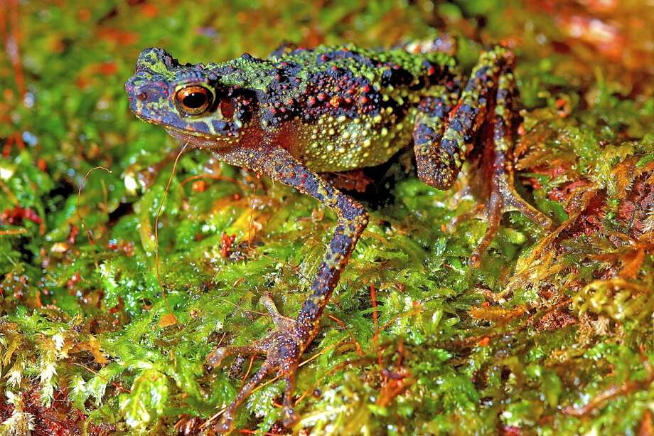An undated handout photo recieved on July 14, 2011 shows an adult female Borneo Rainbow Toad, also referred to as Sambas Stream Toad, in Borneo. Scientists have rediscovered a spindly-legged toad species almost 90 years after it was last sighted in Malaysia's Borneo jungle, an environmental group said. Photo: Indraneil Das, AFP/Getty Images