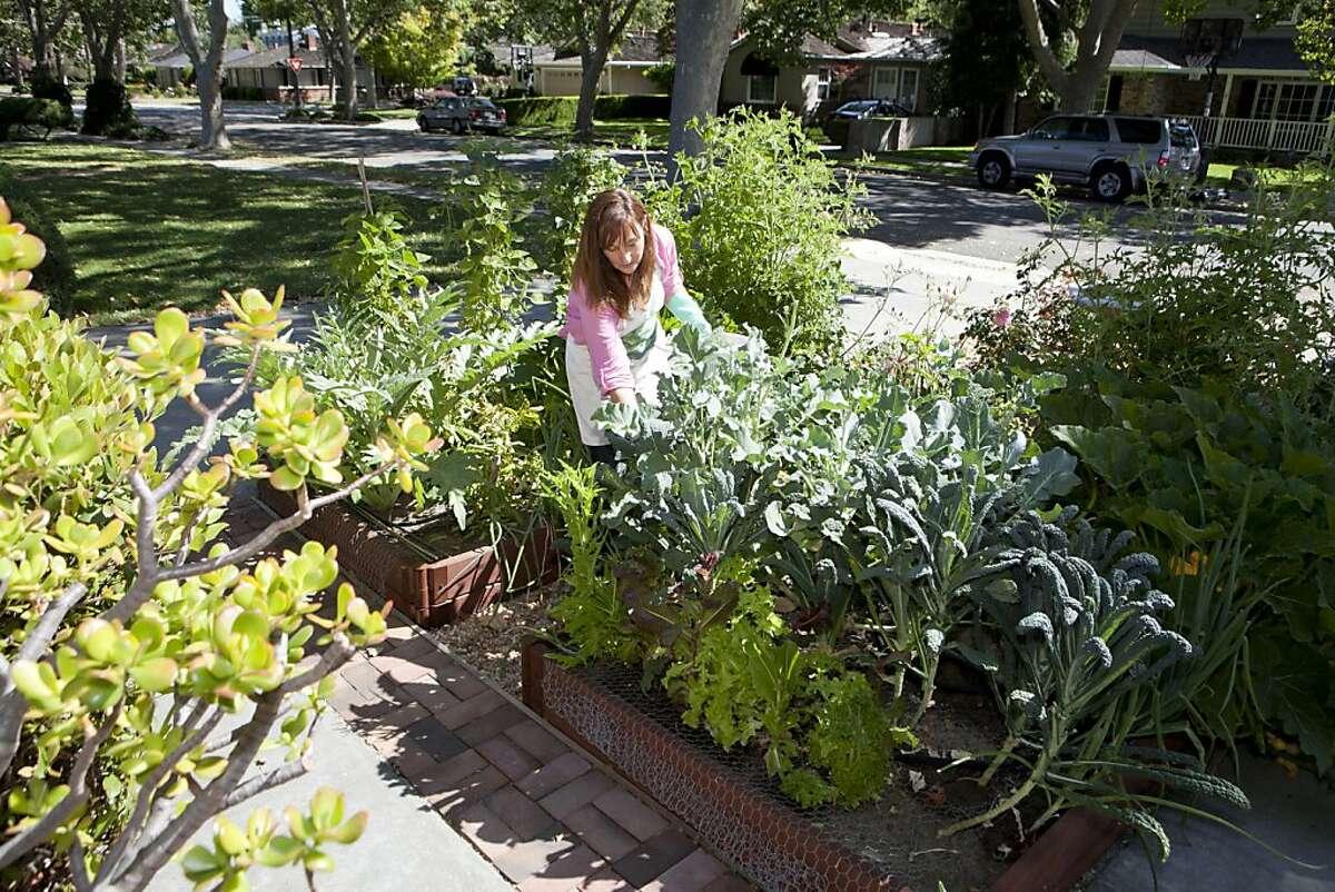 Corinne Asturias picks green beans in her frontyard vegetable garden at her San Jose, Calif. home on Sunday, June 26, 2011.