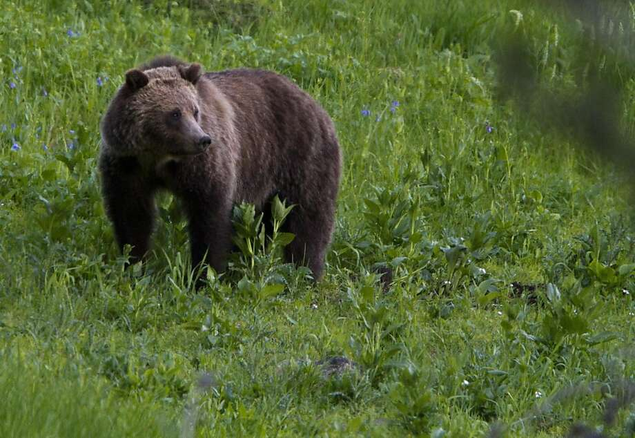 A grizzly bear roams near Beaver Lake in Yellowstone National Park, Wyoming, Wednesday July 6, 2011.  A grizzly bear killed a man who was hiking with his wife in Yellowstone National Park's backcountry after the couple apparently surprised the female bearand its cubs on Wednesday, park officials said. It was the park's first fatal grizzly mauling since 1986, but the third in the Yellowstone region in just over a year. Photo: Jim Urquhart, AP