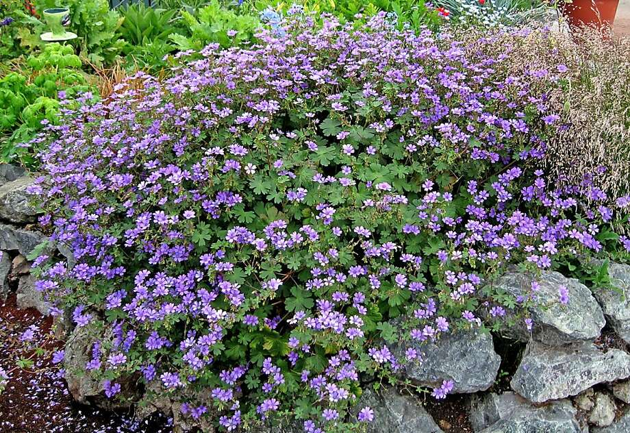 Ground cover Geranium BillWallis Photo: Annie's Annuals & Perennials