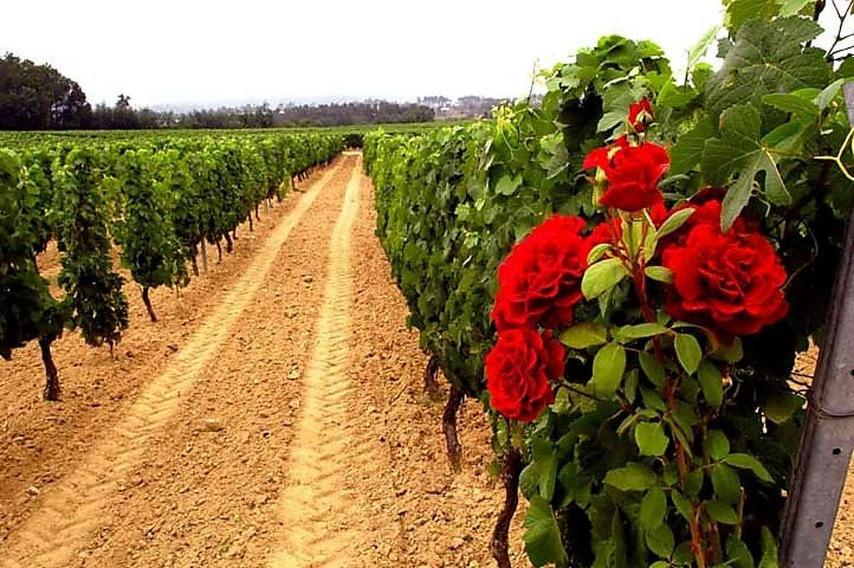 The vineyards of Quinta Vale das Escadinhas in the Dao region of Portugal, a leading source for the country's red wines.