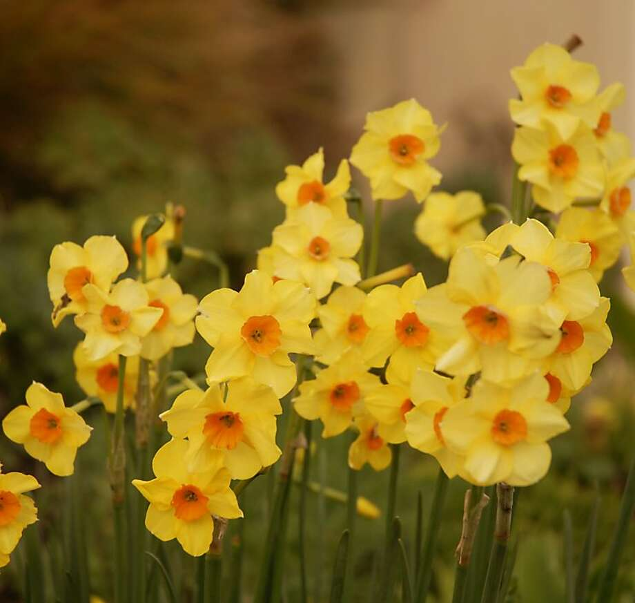 Daffodils are working now to store up enough energy for next spring's glorious blooms. What you do in summer can help or harm them. Photo: Pam Peirce