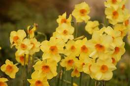 Daffodils are working now to store up enough energy for next spring's glorious blooms. What you do in summer can help or harm them.