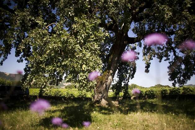 Grapes grow amidst flowers and an oak tree in the Bennett Valley winegrowing area in Santa Rosa. Photo: Brian L. Frank, Special To The Chronicle