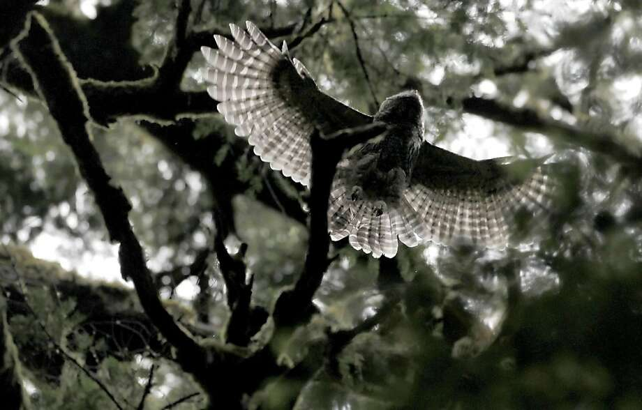 One of the Barred Owl fledglings soars through the trees at Muir Woods in Mill Valley, Ca., on Wednesday June 29, 2011. At least one pair of Barred Owls in the Muir Woods has recently had four fledglings and appears to have displaced a long-time pair of spotted owls in the park's main canyon. Photo: Michael Macor, The Chronicle