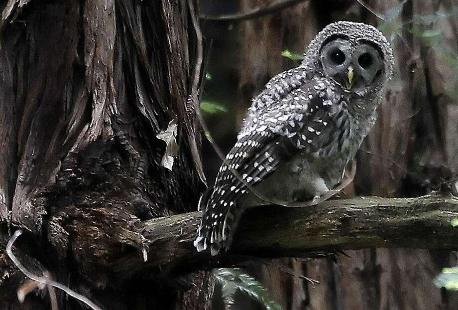 One of the Barred Owl fledglings sits in a tree at Muir Woods in Mill Valley, Ca., on Wednesday June 29, 2011. At least one pair of Barred Owls in the Muir Woods has recently had four fledglings and appears to have displaced a long-time pair of spotted owls in the park's main canyon. Photo: Michael Macor, The Chronicle