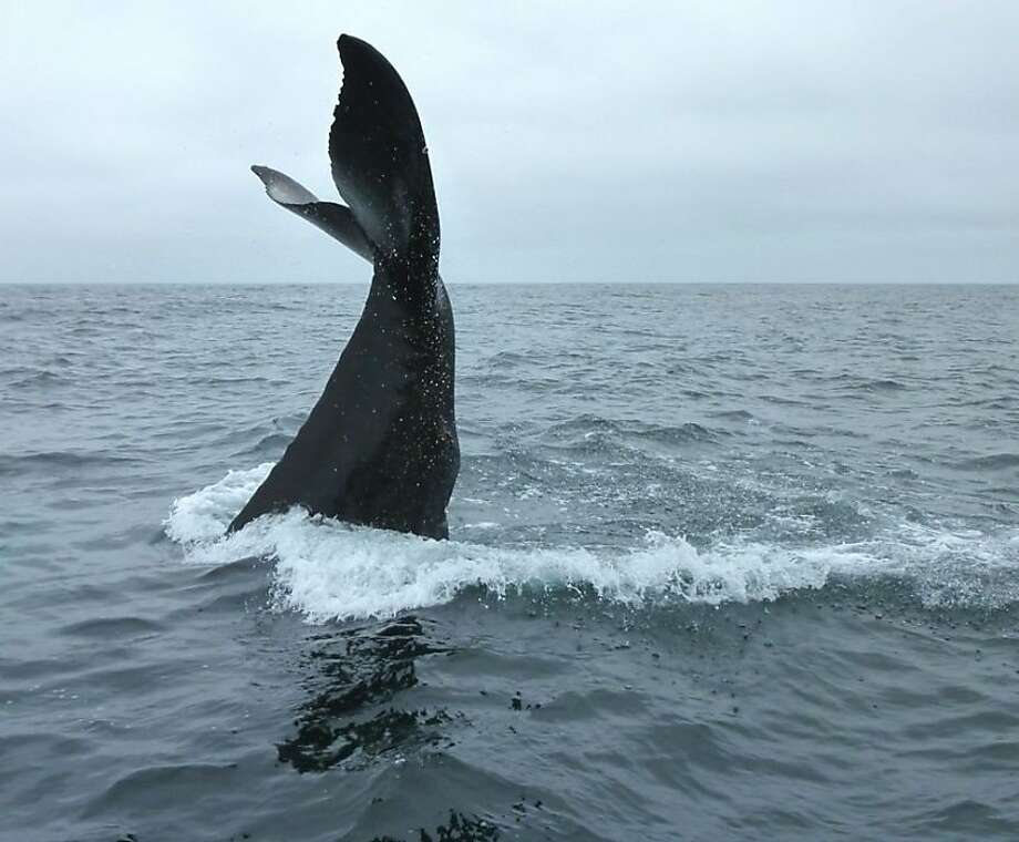 A humpback whale gets ready to slap its fluke on the water of Half Moon Bay in 2011. Photo: Roger Harris, Courtesy Oceanic Society