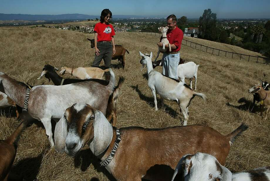 Mike Hulme with his wife Xiaodan Hulme with the goats where they feed in San Jose, Calif., on Thursday,  June 30, 2011.  They run Evergreen Acres Goat Farm where they've created a herd share with folks having access to goat's milk, which the state may force to close as they say it has to become a certified dairy.  In order to comply, they would need more than $100,000 in equipment. Photo: Liz Hafalia, The Chronicle