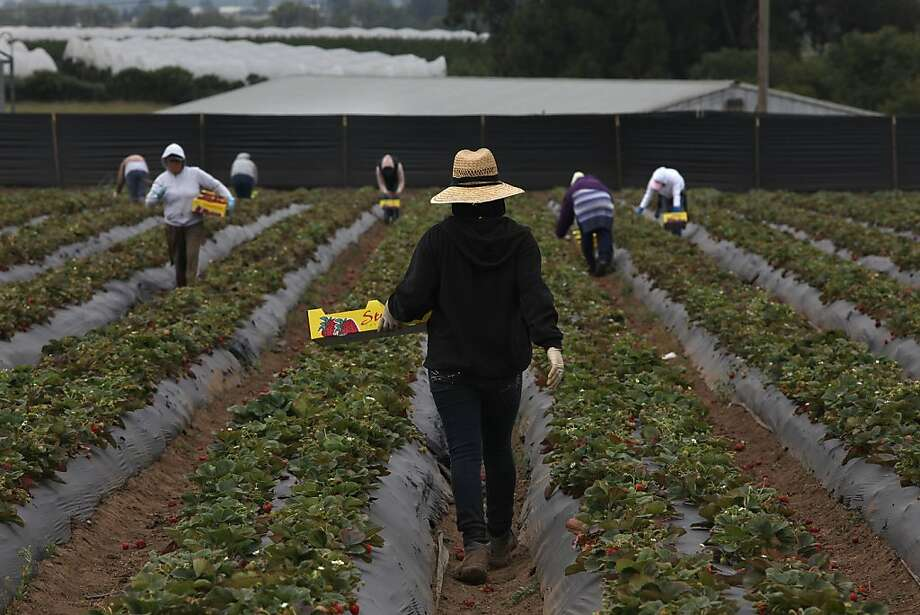Workers picking strawberries on the Tomatero Farm in Watsonville, Calif., for the afternoon farmers market on Wednesday,  June 22, 2011. Photo: Liz Hafalia, The Chronicle