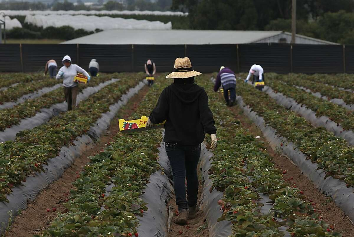 Workers picking strawberries on the Tomatero Farm in Watsonville, Calif., for the afternoon farmers market on Wednesday, June 22, 2011.