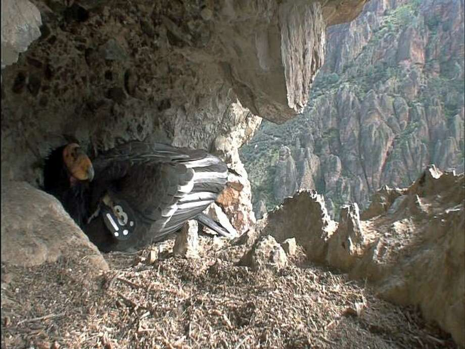 Male condor 318 sits on a nest.  Biologists at Pinnacles National Monumenthave verified the first California condor nest in the monument in over 100 years.  Condor 317, a female released at the monument as a 1 year old bird in 2004, has paired with a nearly seven year old male, Condor 318, originally released along the Big Sur coast by Ventana Wildlife Society. Photo: John Maio, Pinnacles National Monument