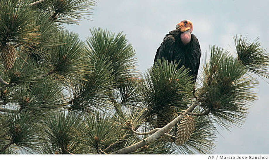 A California Condor is perched atop a pine tree in the Los Padres National Forest east of Big Sur, Thursday, July 10, 2008. As wildfire whipped toward a remote sanctuary of the endangered California condor last month, the rare birds got their biggest test in survival after years of pampering by biologists: They had to live completely on their own. Forced away by flames, their scientist handlers could only hope the birds' animal instincts would kick in. To their delight, they did. (AP Photo/Marcio Jose Sanchez) Photo: Marcio Jose Sanchez, AP