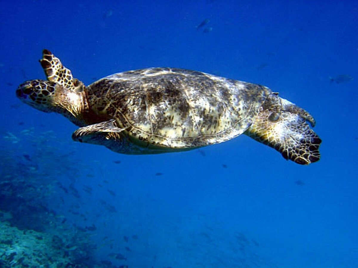 A green sea turtle, considered a threatened species in Hawai'i, cruises through a coral reef near its nesting grounds in the Northwestern Hawaiian Islands.