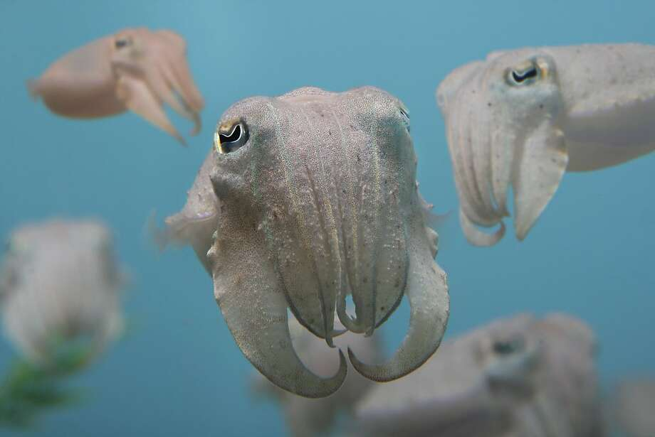 "Juvenile cuttlefish, part of a seasonal ""baby boom"" at the Monterey Bay Aquarium, are raised behind the scenes for exhibit the Splash Zone, where the species has appeared from time to time. Photo: Randy Wilder, Monterey Bay Aquarium"
