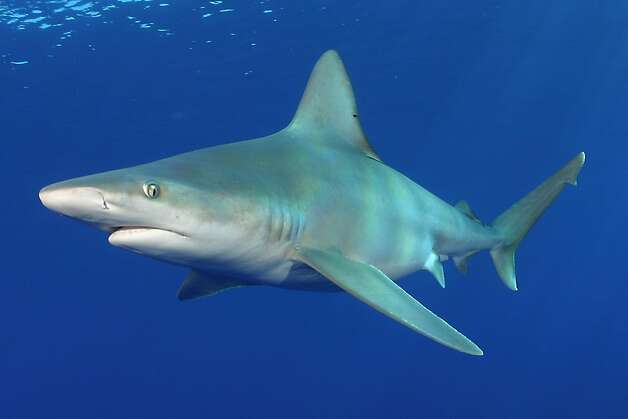 Sandbar sharks will  swim at the Monterey Bay Aquarium for the first time when the Open Sea exhibit opens in July. Photo: James D. Watt, SeaPics.com