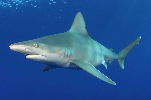 Sandbar sharks will  swim at the Monterey Bay Aquarium for the first time when the Open Sea exhibit opens in July.