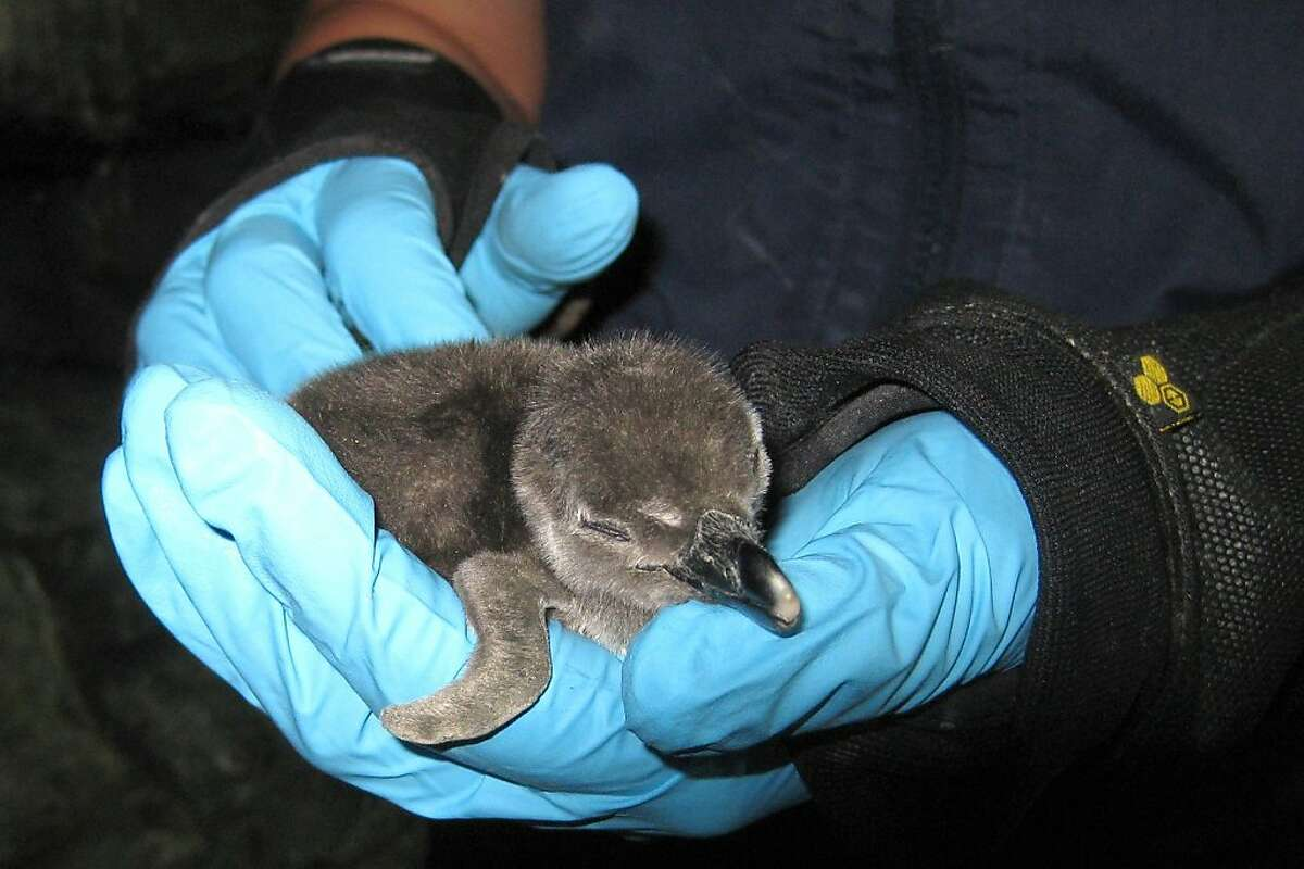 The Monterey BayAquarium's first-ever African blackfooted penguin chick hatched Jan. 8, 2011. It's now a juvenile on exhibit in the Splash Zone.