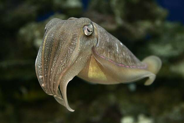 While the pharaoh cuttlefish can't see color themselves, they are masters of changing their hues to avoid predators, confuse their prey and communicate with each other. Hatchlings from the Monterey Bay Aquarium are often sent to institutions around the country. Photo: Randy Wilder, Monterey Bay Aquarium