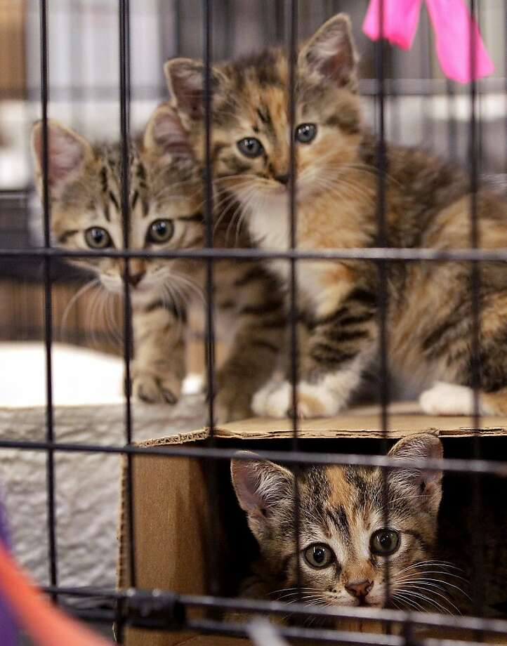In this Tuesday, June 14, 2011, photo, kittens look out of their cage at a shelter in Joplin, Mo. More than three weeks after an EF5 tornado ripped through Joplin, nearly 900 dogs and cats remain sheltered at the Humane Society, most of them unlikely to ever be reunited with their owners. Photo: Charlie Riedel, AP