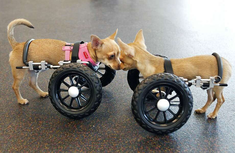 Six-month old Chihuahua puppies, Ellie, left, and Gulliver, right, nuzzle together at the Massachusetts Society for the Prevention of Cruelty to Animals, in Methuen, Mass. Wednesday, June 15, 2011. The already adopted puppy, born without front legs, was fitted with wheels made by Eddie's Wheels of Shelburne, Mass. and is training to walk and run with them. Photo: Elise Amendola, AP