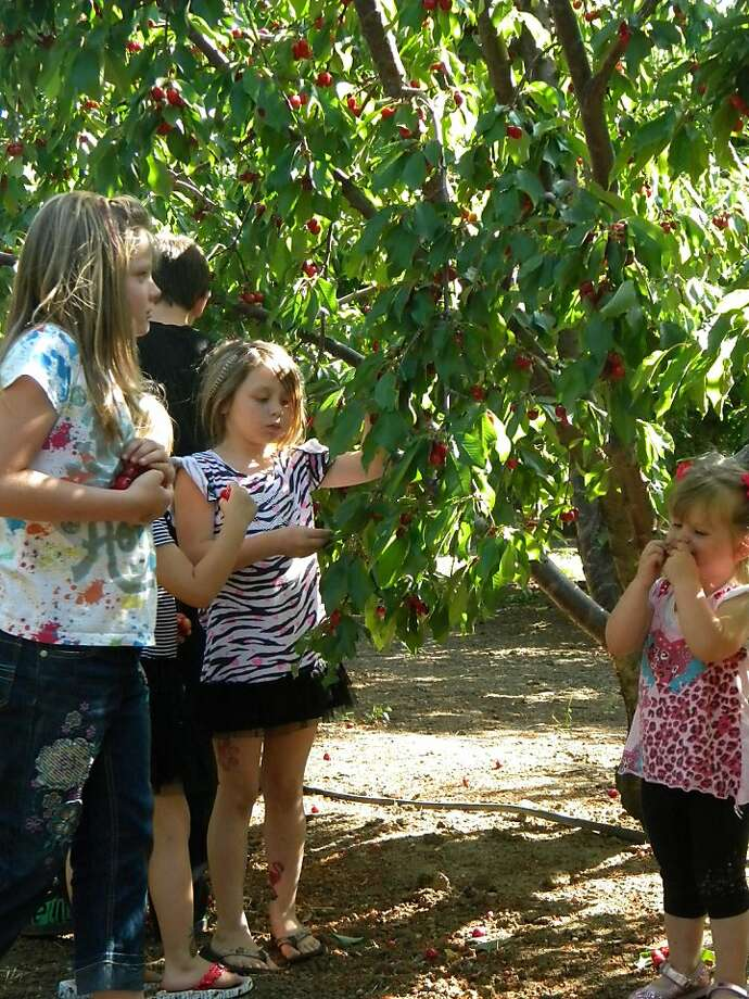 Children picking cherries last weekend at Pease Ranch in Brentwood. Photo: Danny Pease