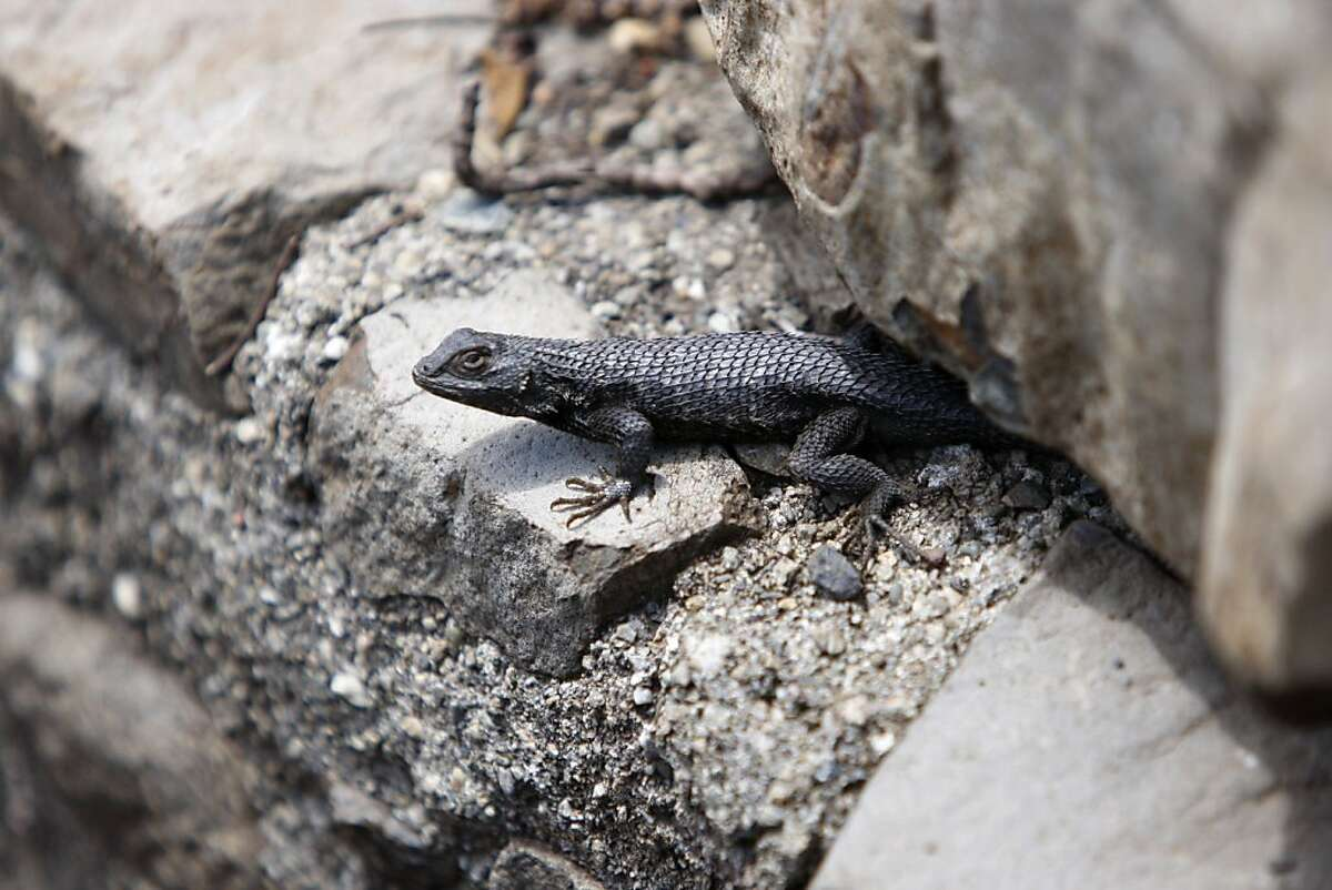A lizard rests on a rock at Tilden Botanic Garden in Berkeley, Calif., on Friday, May 27, 2011.