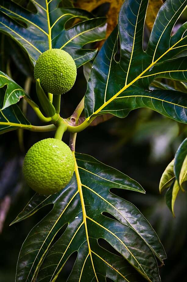 The distinctive shape of the breadfruit leaf, or ulu, as well as its round, starchy fruit are icons of Polynesia. Photo: Tor Johnson, HTA