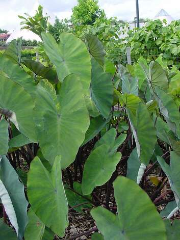 "Taro, ""kalo"" in Hawaiian, is considered the living form of Haloa, the elder brother of the Hawaiian people. It's seen here growing at 'Imiloa Astronomy Center in Hilo. Photo: 'Imiloa Astronomy Center"