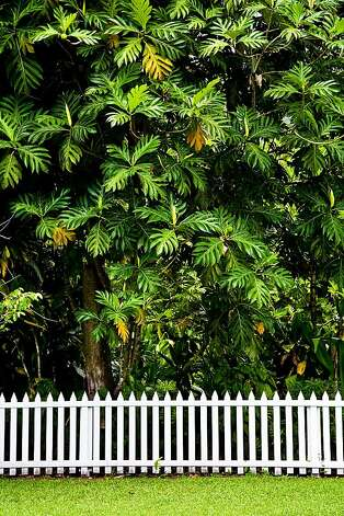 A breadfruit tree towers over a white-picket fence in Hawaii. In Hawaiian culture, the plant is a metaphor for growth and makes a good present for a first birthday. Photo: Tor Johnson, HTA