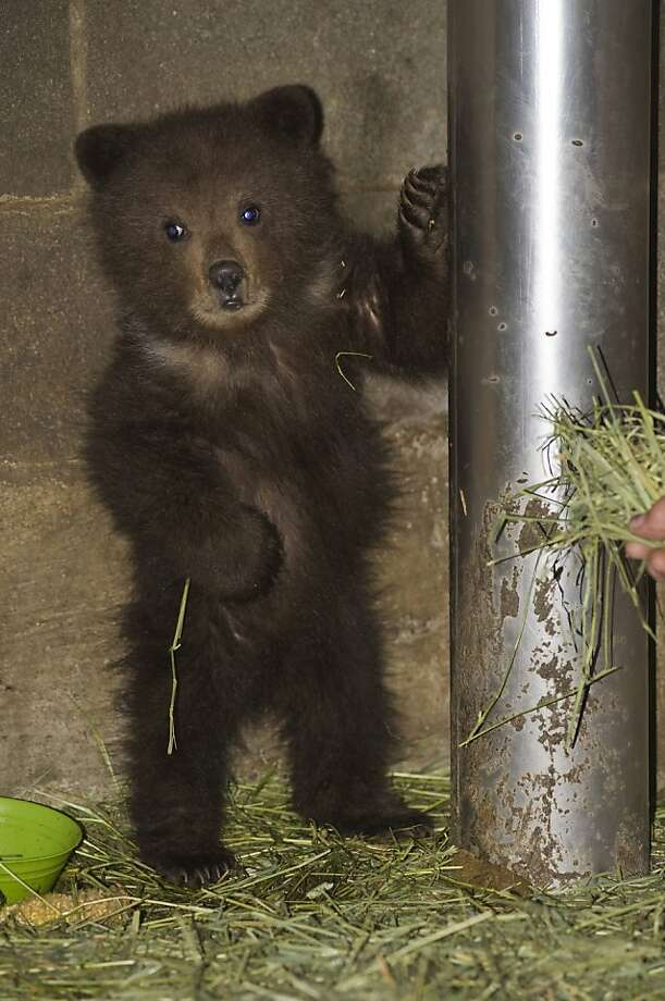 "In this April 19, 2011 photo ""Pandora,"" an orphaned brown bear cub from Angoon, Alaska, stands up next to a post at the Fortress of the Bear bear sanctuary in Sitka, Alaska. The cub is scheduled to be flown to a Montana bear sanctuary Friday June 3, 2011. Photo: James Poulson, Daily Sitka Sentinel"