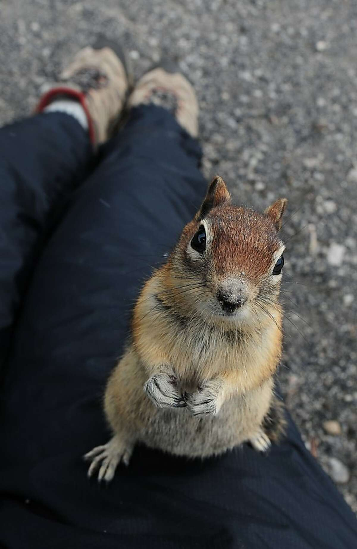 A Chipmunk begs for food in the Yellowstone National Park, Wyoming on June 1, 2011. Yellowstone National Park, was established by the U.S. Congress and signed into law by President Grant on March 1, 1872. The park is located primarily in the U.S. state of Wyoming, though it also extends into Montana and Idaho and was the first national park in the world. It is known for its wildlife and its many geothermal features, especially the Old Faithful Geyser.