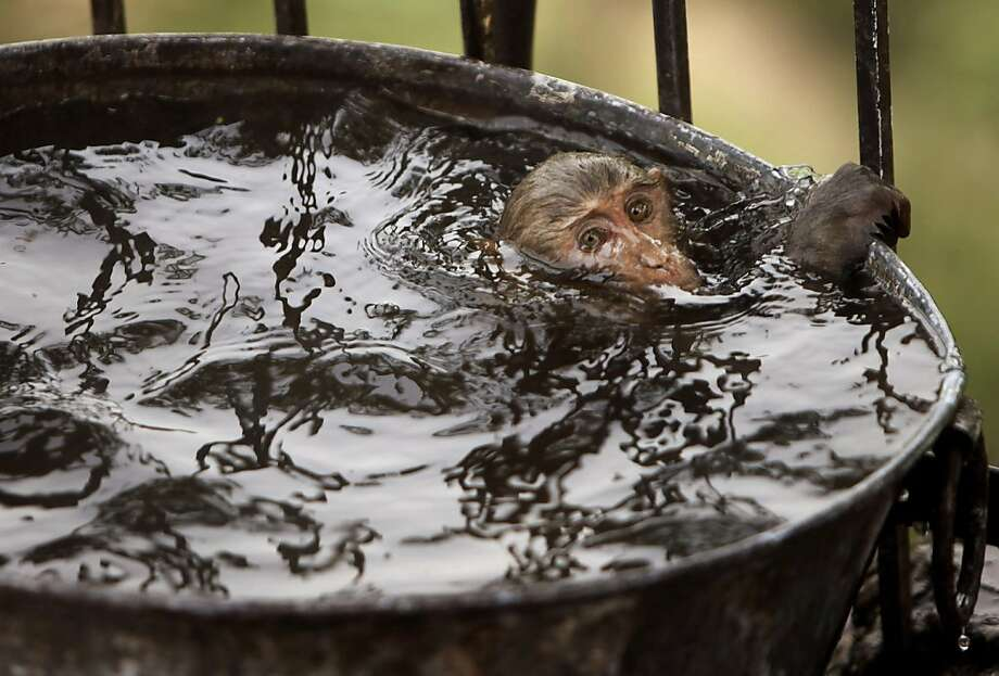 A monkey cools off in a water tub on a hot summer afternoon in Jammu, India, Wednesday, May 25, 2011. Photo: Channi Anand, AP