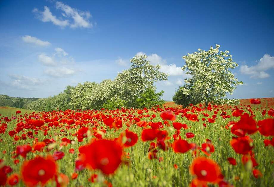TOP SHOTS-Blooming corn poppies stand on a field on May 23, 2011 near Mallnow in the Oderbruch region, eastern Germany. The Oderbruch is a swamp along the German-Polish border river Oder. The land was brought under cultivation after Prussia's King Frederick II. initiated the drainage of the region from 1747 to 1762. Photo: Patrick Pleul, AFP / Getty Images