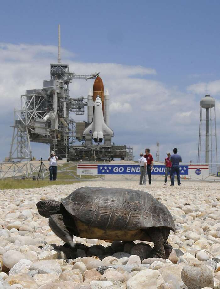 A Gopher turtle on May 15, 2011 as it crosses the crawlerway in front of launch pad 39-A where the shuttle Endeavour stands at Kennedy Space Center, Florida. NASA Sunday readied the space shuttle Endeavour for its final mission with liftoff set for 8:56 am (1256 GMT) Monday on the next-to-last flight for the American shuttle program.  Engineers were optimistic that the repaired shuttle would be able to fly on its 16-day mission to the International Space Station, after a technical glitch postponed its attempt last month. Photo: Bruce Weaver, AFP / Getty Images