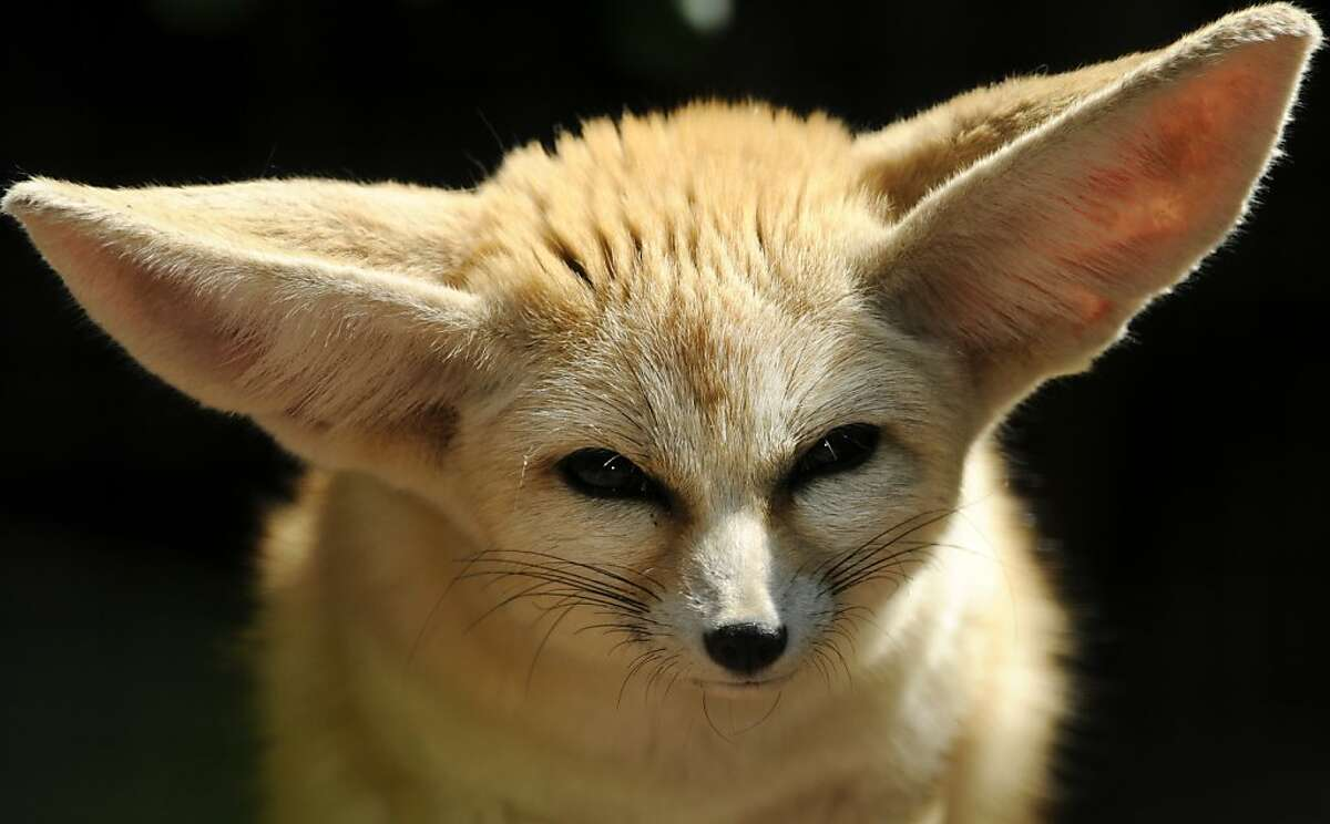 A Fennec Fox looks around its enclosure at the zoo in the southern German city of Heidelberg on May 13, 2011.