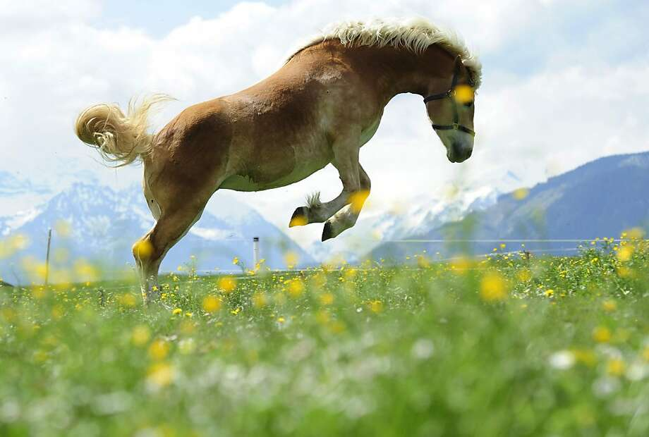 A horse jumps on a meadow near Saalfelden, Austrian province of Salzburg, Saturday, April 30, 2011. Weather forecasters predict light rain and  temperatures up to 22 degrees Celsius (72 Fahrenheit) for Austria. (AP Photo/ Kerstin Joensson) Photo: Kerstin Joensson, AP