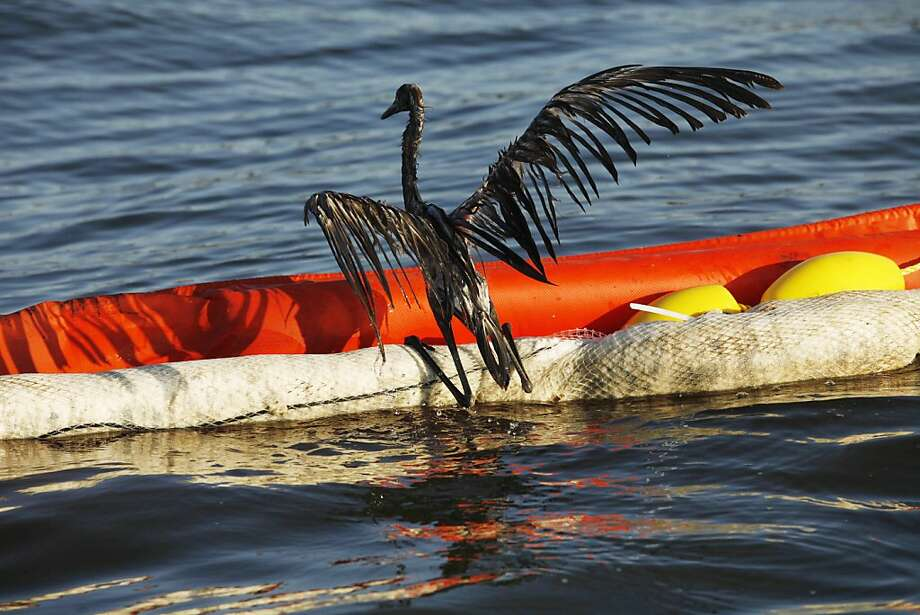 In this Saturday, June 26, 2010 file picture, an oil-drenched bird struggles to climb onto a boom from the waters of Barataria Bay, La., which are filled with oil from the BP Deepwater Horizon oil spill. An April 20, 2010 explosion at the offshoreplatform killed 11 men, and the subsequent leak released an estimated 172 million gallons of petroleum into the Gulf of Mexico. Photo: Gerald Herbert, AP