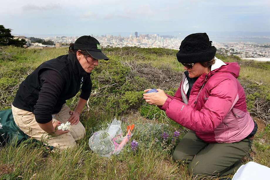 Scientist Kirra Swenerton of Francisco Recreation and Parks and Christal Niederer, a biologist with Creekside Center for Earth Observations, prepare to place a small female Mission Blue butterfly on a Silver Lupine plant Friday. Teams of scientists relocated dozens of Mission Blue butterflies that are native to San Francisco from San Bruno Mountain to Twin Peaks in San Francisco in an effort to bring back the spices. Photo: Lance Iversen, The Chronicle