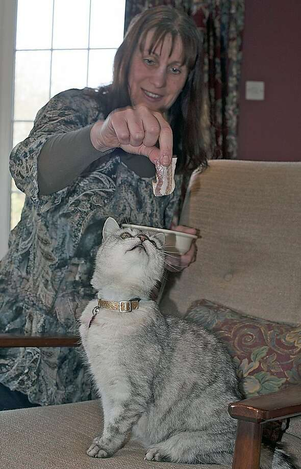 In this handout photo released by Northampton College, Smokey, a gray and white tabby cat prepares to receive a treat from owner Ruth Adams, in Northampton , England.  A British community college says it has a recorded a house cat whose lawnmower-like purr hit 73 decibels, 16 times louder than the average feline. Northampton College in central England said Wednesday, March 30, 2011, that it had dispatched a music team with specialist sound equipment to record 12-year-old Smokey. The recording has been submitted to the Guinness World Records. Photo: Alisdair Tait, Northampton College