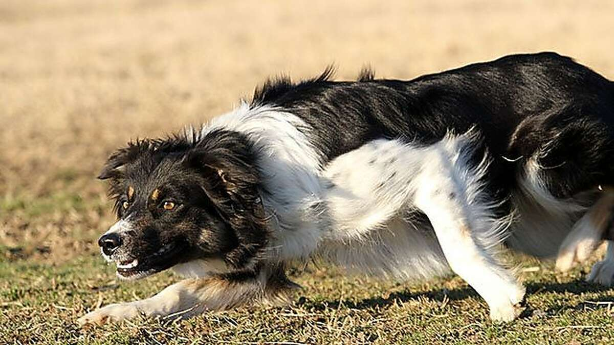 May at work, demonstrating the intensity and crouching body position characteristic of the border collie working sheep.