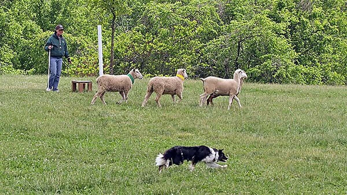Denise Wall and May go around the post at a sheepdog trial in Kentucky in May.