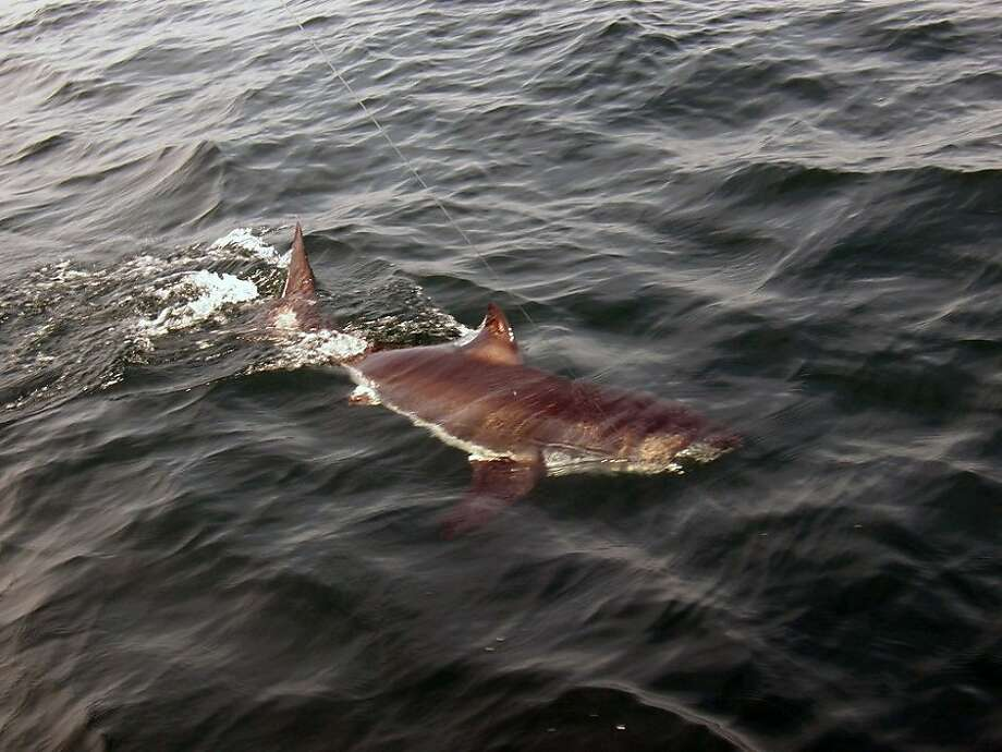 A six to seven foot immature white shark, weighing about 150 pounds, is tagged and released in the waters off Stellwagen Bank in Massachusetts, U.S., on June 26, 2010. On September 5 and 8, 2009, five white sharks ranging from eight to fifteen feet in length received electronic tags near Monomoy Island off Chatham, Massachusetts. Source: Massachusetts Division of Marine Fisheries via Bloomberg EDITOR'S NOTE: NO SALES. EDITORIAL USE ONLY. Photo: Via Bloomberg