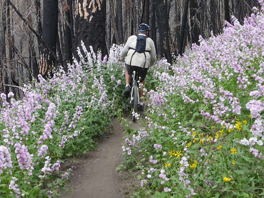 George Whitley of Richmond, Virginia pedals through the hollyhocks on Warm Springs Trail, Bald Mountain in Sun Valley. Photo: Larry Habegger, Special To The Chronicle