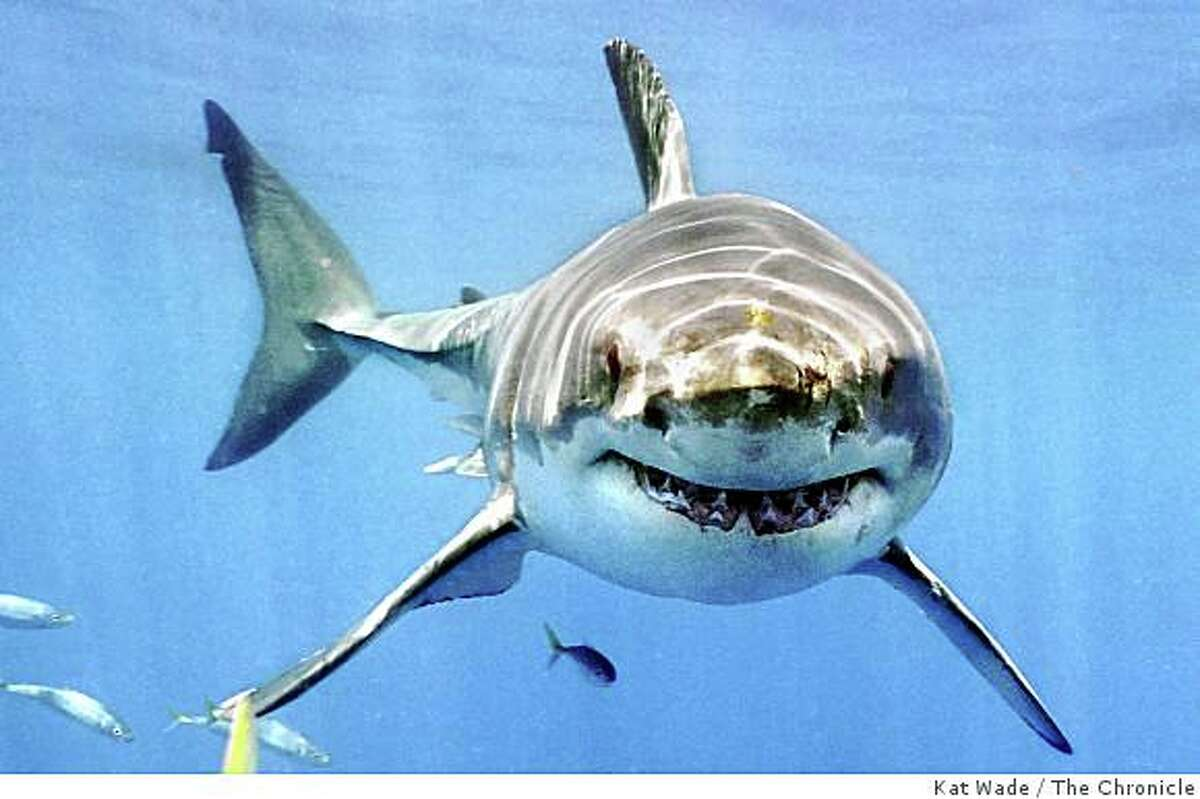 A 16-foot Great White Shark who weighs roughly 3,000-pounds appears to smile at divers as it boldly approaches the shark cage attached to the stern of The Searcher (a charter for Great White Adventures based in Alameda) in the Mexican waters at Isla de Guadalupe 200-miles south of San Diego on August 27, 2006. Eco-tourism may aid in the survival of the diminishing shark population around the globe as humans kill 100-million sharks each year. Kat Wade/The Chronicle