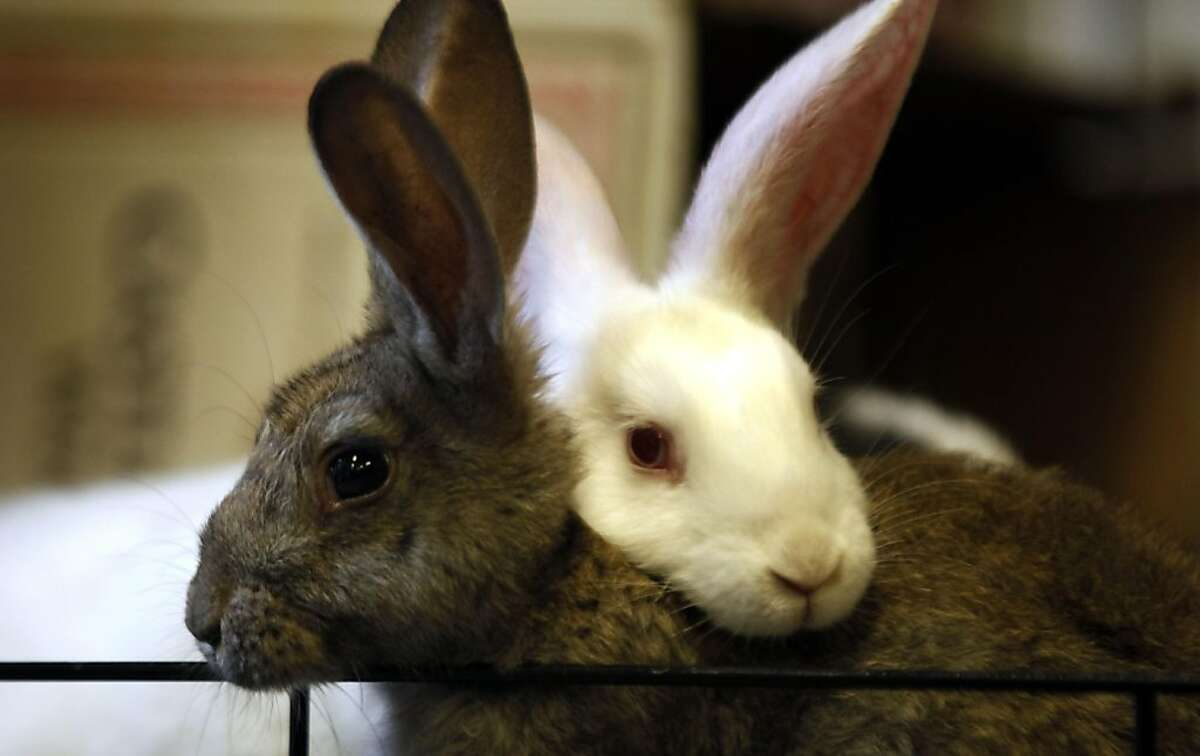 Two of the 21 confiscated rabbits huddle together as they wait to be adopted at the Oakland Animal Shelter Wednesday, June 29, 2011 after they were given up by a woman who was raising them for food. The bunnies are recovering from an all rice diet and urine burns sustained from standing in small cages in their own waste.