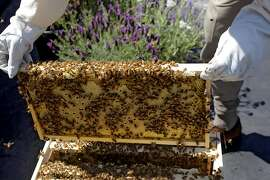 Marin Bee Co. beekeeper Bill Tomaszewski pulls a frame from its hive to check the progress of the hive on the rooftop of the Chronicle building, Tuesday April 26, 2011, in San Francisco, Calif.