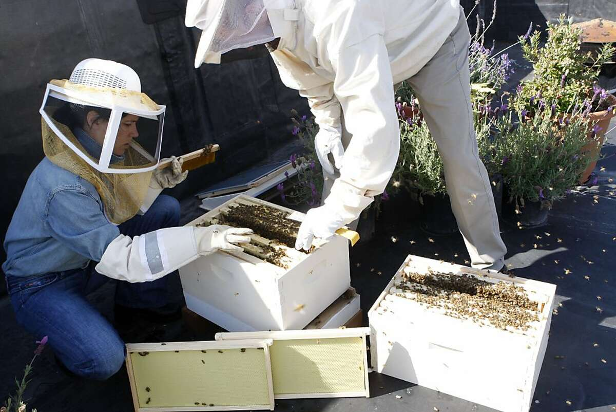 Bill Tomaszewski, owner of Marin Bee Company and San Francisco Chronicle reporter Meredith May swap frames of brood come from a robust bee hive to a weaker one to prevent overcrowding. Photographed in Francisco Calif., on June 17, 2011.