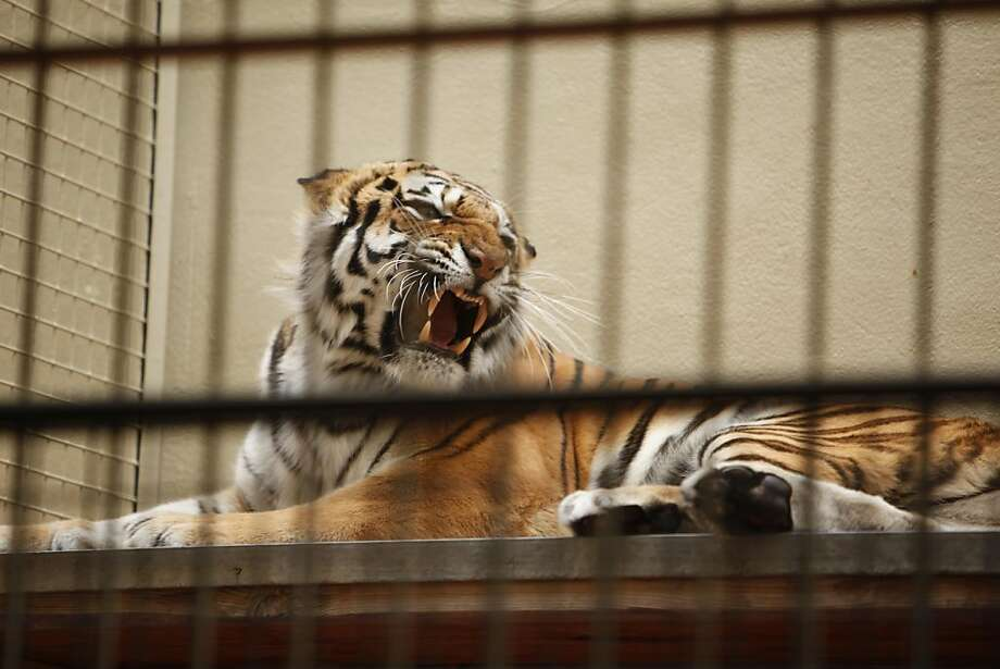 Siberian tiger, Martha, a new addition at the San Francisco Zoo in San Francisco, California, on Monday, June 27, 2011. It never made it outside of it's cage. Photo: Craig Lee, Special To The Chronicle