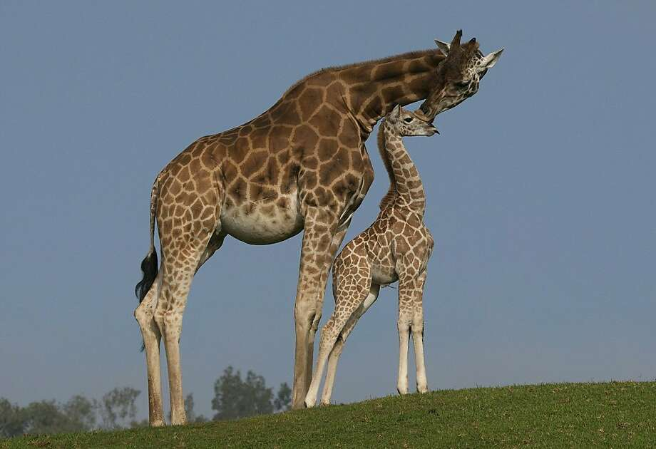 In this image released by the San Diego Zoo in California, a one-month-old giraffe calf named Machaleo made his debut alongside his mother, Shani, at the San Diego Zoo Safari Park on October 13, 2010. Photo: Ken Bohn, AFP/Getty Images